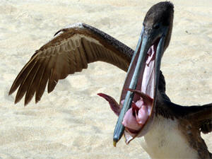 Pelicans are not picky eaters.